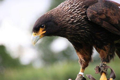 Caracara, Bird, Wildlife, Prey, Predator, Raptor