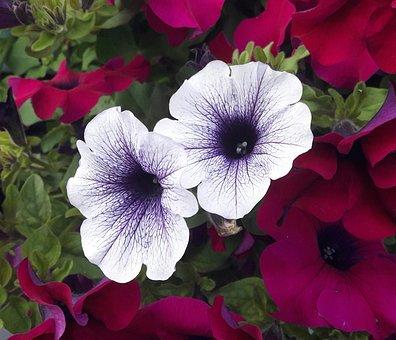 Petunia, White, Blue, White-blue, Pink