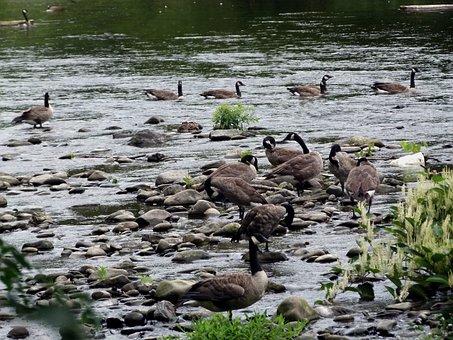 Canada Geese, Geese, Goose, Canada, Bird, Canadian