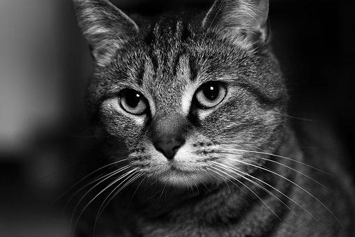 Cat, Domestic Cat, Cat Face, Cat Portrait, Adidas