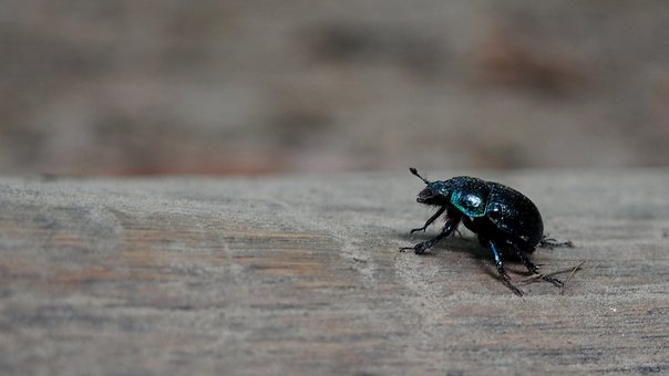 Animals, Beetle, Nature, Insect, Macro, Closeup