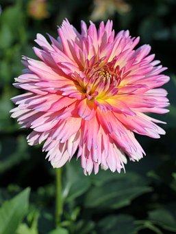 Dahlia, Flower, Dahlia Garden, Flower Garden, Blossom