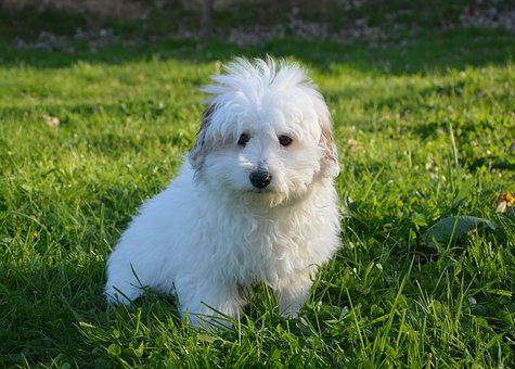 Dog, Puppy, Young, Cotton Tulear, Domestic Animal
