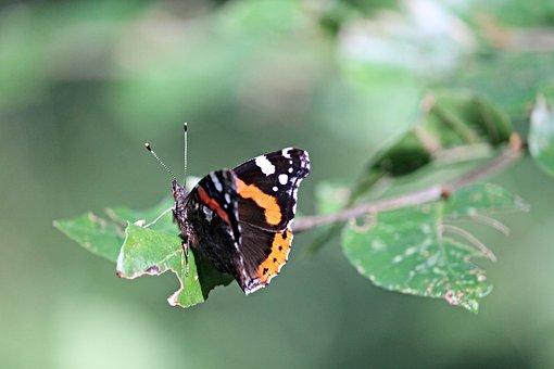 Admiral, Butterfly, Vanessa Atalanta, Edelfalter