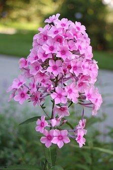 Flower, Pink, Blossom, Bloom, Nature, Pink Flowers