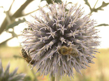 Flower, Bumblebee, Thistle, Ornament, Nature, Garden