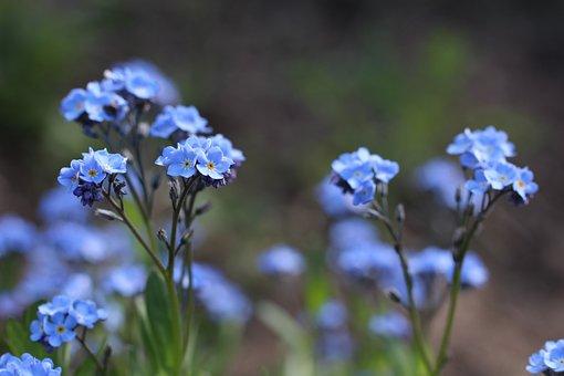 Violet, Wild Flower, Nature, Blue, Flowering