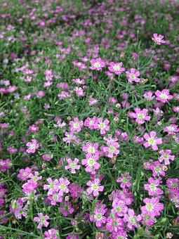 Flowers, Bloom, Garden, Tender, Ground Cover, Purple