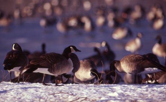 Geese, Hunting, Migratory