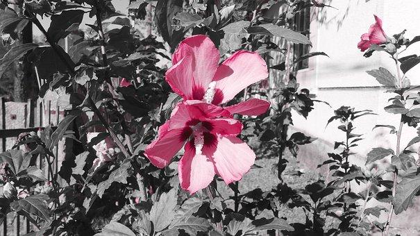 Mallow, Hollyhock Flower, Hibiscus, Wild Mallow, Pink