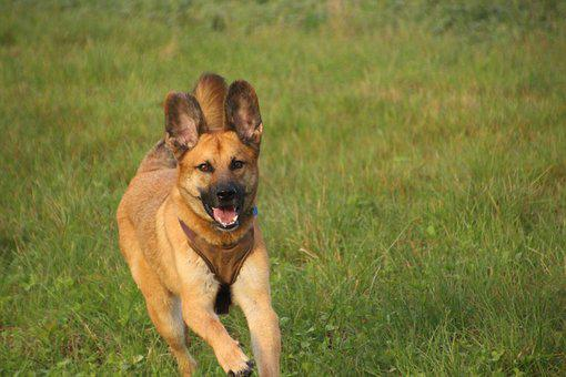 Dog, Rennend, Running Dog, Meadow, Motion Recording