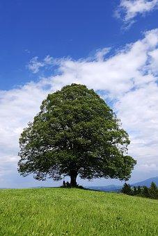 Linde, Tree, Hill, Meadow, Green, Allgäu, Roßhaupten