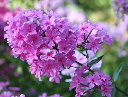 Flower, Pink, Close, Plant, Flowers, Nature, Macro