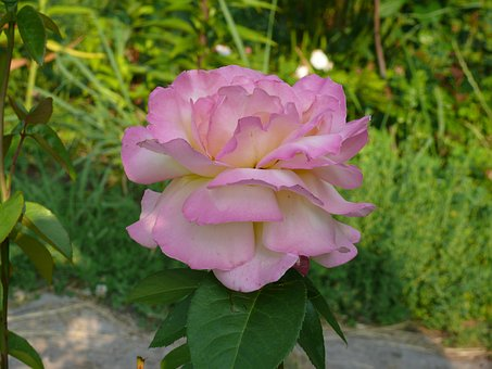 Rose, Flower, Pink Rose