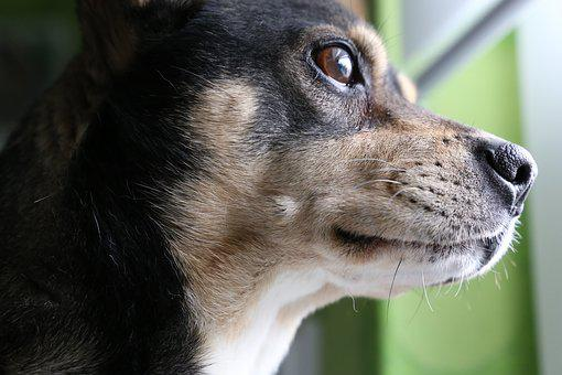 Dog, Concentrated, Animal, Pet, Cute, Domestic, Smart