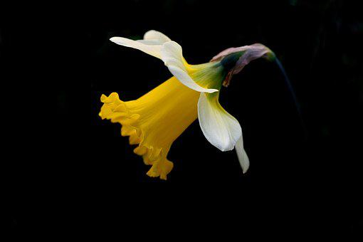 Daffodil, Spring, Black Background, Yellow, Petals