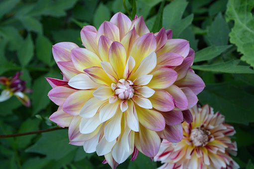 Flowers, Dahlia, Pink, Yellow, White, Nature, Summer