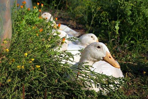 Geese, Summer, Nature, White, Animals