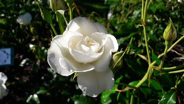 Beautiful, White, Ros, White Rose, White Flower