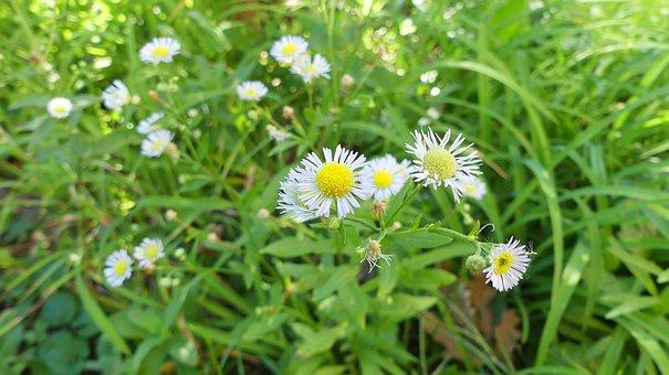 Chamomile, Flower, Chamomile Flower, Wild Herbs