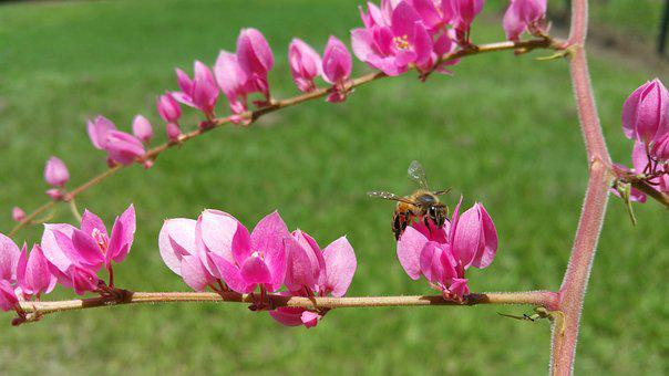 Killer Bee, Bee, Insect, Pink, Flower, Worker