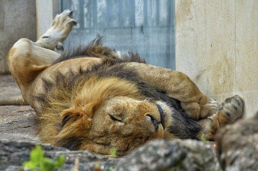 Lion, Male, Cat, Big Cat, Wildcat, Zoo