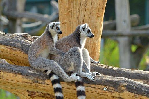 Ring Tailed Lemur, Zoo, Lemurs, Lemur Catta, Lemur