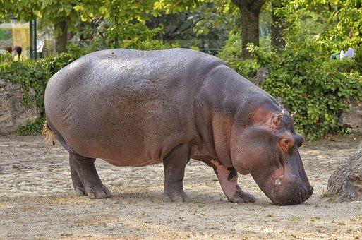 Hippopotamus, Hippo, Zoo, Mammal, Water, Herbivores