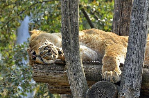 Lion, Female, Lioness, Cat, Big Cat, Wildcat, Zoo