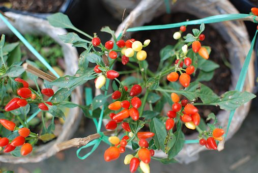 Chili, Small Tree, Spicy