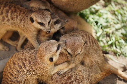 Meerkat, Mammal, Zoo, Cute, Wildlife Photography