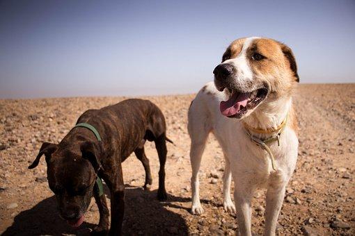 Dogs, Nature, Sun, Desert, Animal, Pet, Cute, Happy