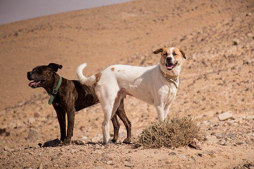 Dogs, Desert, Sun, Animal, Nature, Pet, Sand, Cute