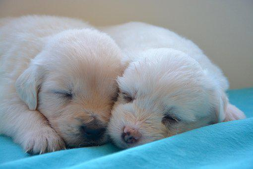 Puppies, Golden Retriever, Cute, Domestic Animal