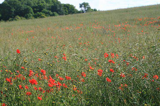 Poppy, Field, Nature, Wildflower
