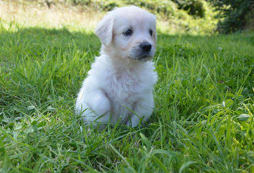 Golden Retriever Puppy, Dog Breed, Petit