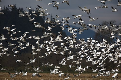 Snow Geese, Birds, Wildlife, Nature, Migrate, Flying