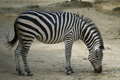 Zebra, Africa, Safari, National Park, Wild Animal