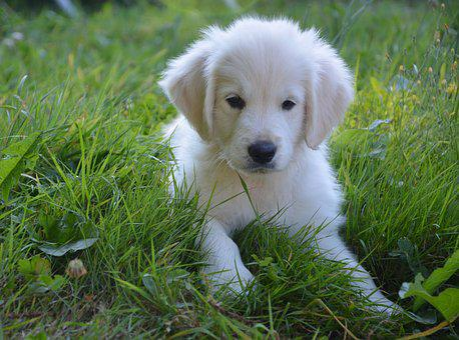 Puppy, Golden Retriever, Dog, Female, Beautiful, Nice