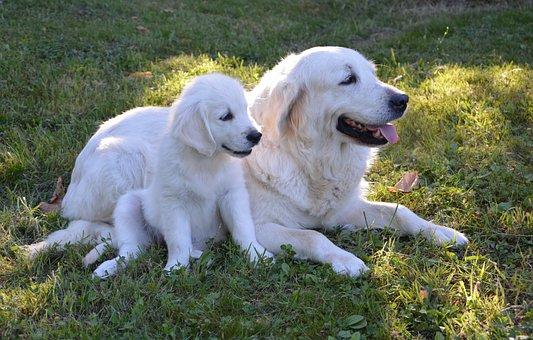 Puppy, Bitch, Dogs, Golden Retriever, Pets, Complicity