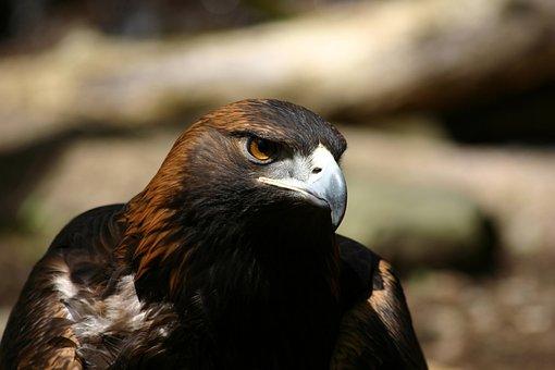Eagle, Golden Eagle, Raptor, Bird, Avian, Wildlife