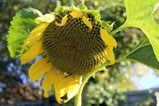 Sunflower Garden, Seeds, Plant, Flowering