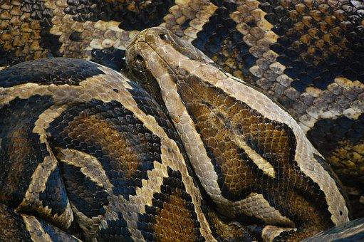 Snake, Animal, Python, Scale, Nature, Creature