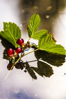 Puddle, Mud Puddle, Berry, Plant, Water, Reflection