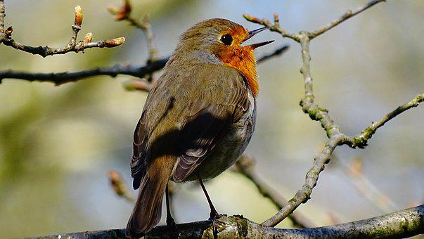 Bird, Nature, Forest, Robin