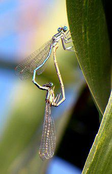 Bridesmaids, Dragonflies, Coupling, Nature, Insect