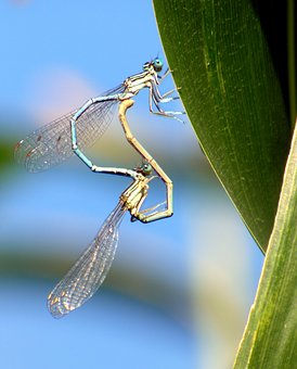 Bridesmaids, Dragonflies, Nature, Insect, Green