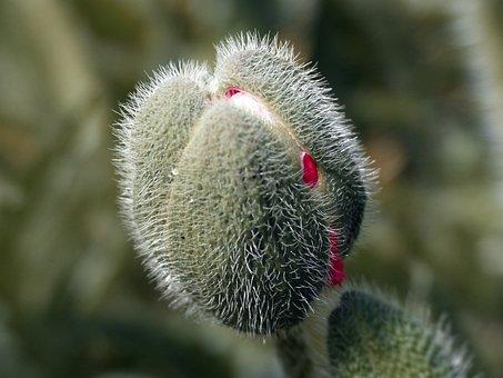 Poppy, Bud, Poppy Bud, Blossom, Bloom, Spring, Plant