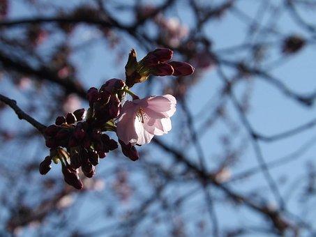 Cherry, Blossoms, Spring, Flower, Cherry Blossoms