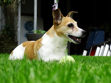 Jack Russell, Doggy, Terrier, Animals, Pet, Garden